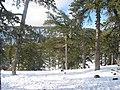 Pinus nigra Cyprus1.jpg