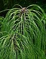 Pinus pseudostrobus var apulcensis 3.jpg