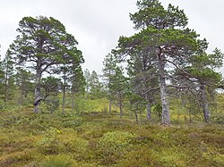 Pinus sylvestris Grytdalen 02.jpg
