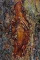 Pinus sylvestris bark resin.jpg