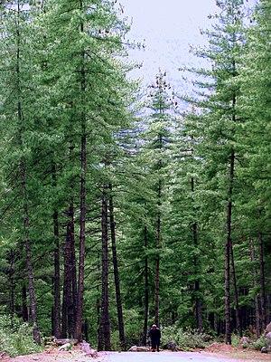 Pinus wallichiana Bhutan2