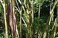 Piper auritum 38zz.jpg