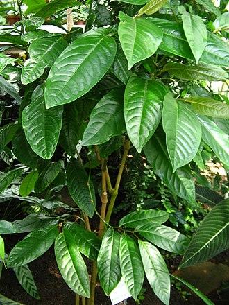 Long pepper - Long pepper plant