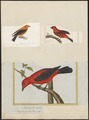 Piranga rubra - 1700-1880 - Print - Iconographia Zoologica - Special Collections University of Amsterdam - UBA01 IZ15900231.tif