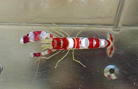 Pistol Shrimp01.jpg