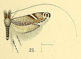 Pl.4-fig.25-Adela cuneella Walsingham, 1891.jpg