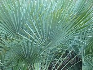 Planta típica del Garraf.JPG