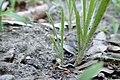 Plantago arenaria kz01.jpg