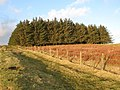 Plantation southeast of Carrawbrough (2) - geograph.org.uk - 1260716.jpg