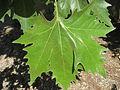 Platanus x acerifolia leaf 01 by Line1.jpg