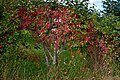 Poertschach 10 Oktober Strasse Euonymus europaeus 05102014 478.jpg
