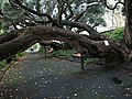 Pohutukawa tree In Auckland New Zealand.jpg