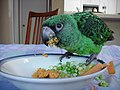 Poicephalus gulielmi -juvenile pet eating vegetables-8a.jpg
