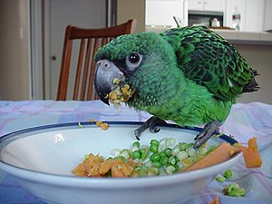 Red-fronted parrot - Fledgling pet eating vegetables