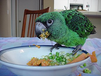 Red-fronted parrot - Fledgling pet eating vegetables