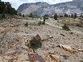 Polygonum shastense habitat 20Lakes slide.jpg