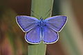 Polyommatus icarus - Burgenland.jpg