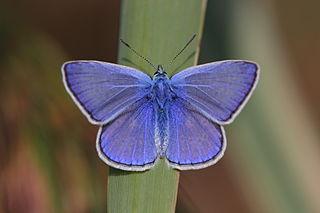 Polyommatinae