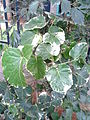 PolysciasScutellaria20130620112908.jpg