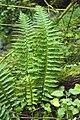 Polystichum aculeatum vallon-ferme-le-colombier-chateau-thierry 02 13072008 01.jpg