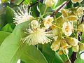 Pommier malacca(inflorescence).jpg