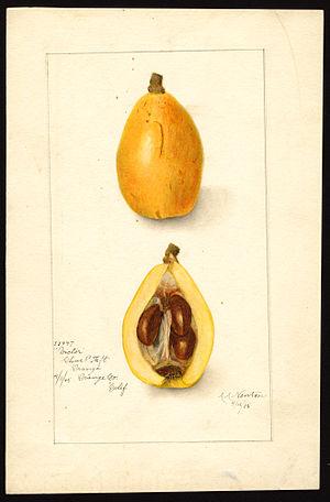 Loquat - Fruit structure