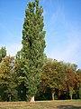 Populus nigra-bekes-4.jpg