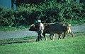 Portomarin-34-Mann mit Kuehen-2001-gje.jpg