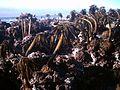 Postelsia palmaeformis 5.jpg