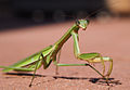 Praying mantis staring.jpg