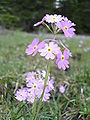 Primula farinosa 08-06-2007.jpg