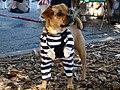 Prisoner puggle (1700942629).jpg