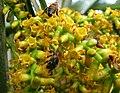 Pritchardia martii (5249645795).jpg