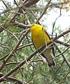 Prothonotary Warbler (16538736893).jpg