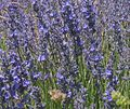 Provence lavendel.jpg