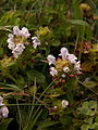 Prunella-vulgaris-white-2014-08-18-South-Side-Slopes-01.jpg
