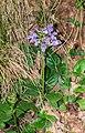 Prunella grandiflora in Aveyron 06.jpg