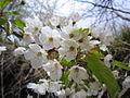 Prunus avium (5650809993).jpg