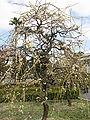 Prunus mume 'Pendula'1.jpg