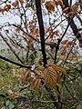 Prunus transarisanensis 65927331.jpg