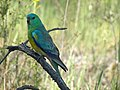 Psephotus haematonotus -Canberra -Australia-8.jpg