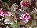 Pseuderanthemum carruthersii atropurpureum.jpg