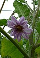 Psianka podłużna. (Solanum melongena). 02.jpg