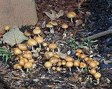 Psilocybin mushroom - Wikipedia