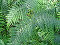 Pteridium aquilinum.JPG