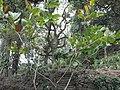 Pterocarpus santalinus-2-BSI-yercaud-salem-India.JPG
