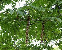 Pterocarya-rhoifolia-Detail