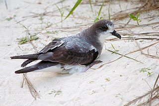 Bonin petrel species of bird