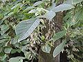 Pterostyrax psylophyllus feuilles jeunes fruits.jpg