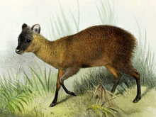 Pudu mephistophiles.png